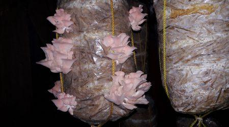 Pink Mushroom